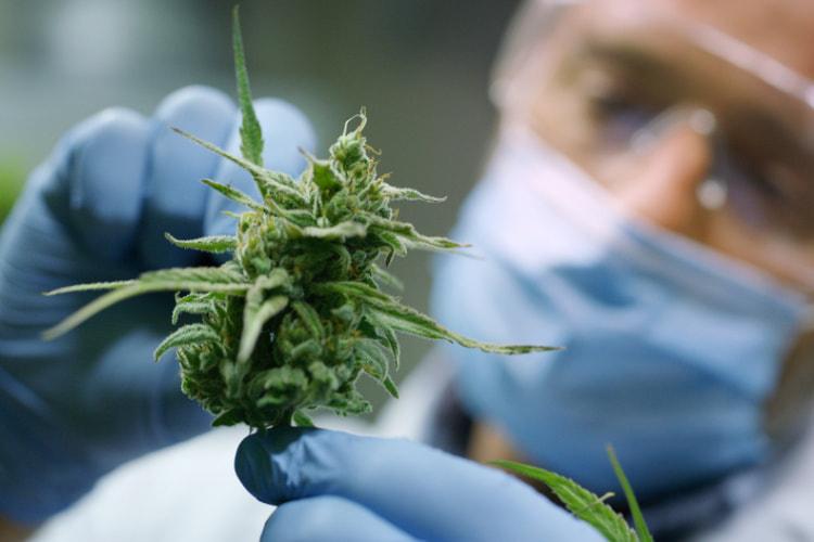 cannabis test inspection